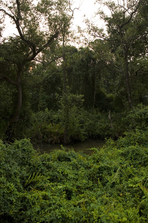thickets: Deep Forest and river, Lush Tropical Rainforest in North India, Thickets. Calm Forest Landscape