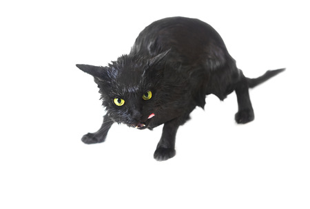 soggy: Cute Black Soggy Cat after a Bath, Funny Little Demon Licking. Pet Care Stock Photo