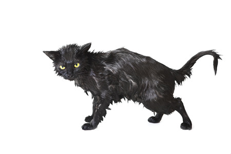 Black Cute Soggy Cat after a Bath, Funny Angry Little Demon. Pet Care 스톡 콘텐츠