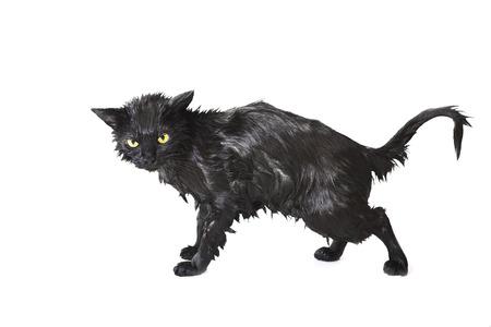 Noir Soggy Chat mignon après un bain, drôle Angry petit démon. S'occuper d'un animal Banque d'images - 44226053