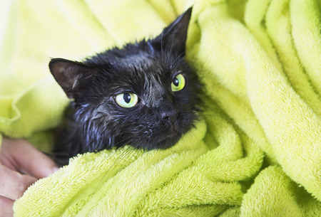 soggy: Black Cute Soggy Cat after a Bath, Drying off with a Towel. Bathing pets, Hygiene