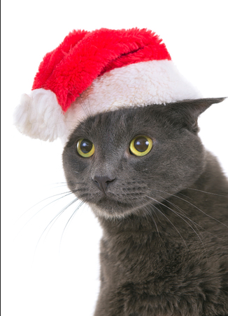 Funny Gray Cat Santa - Cute Christmas Cat, Christmas pet with Santa Claus hat isolated on white background