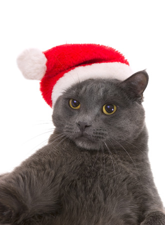 droll: Funny Gray Cat Santa - Cute Christmas Cat, Christmas pet with Santa Claus hat. Cat Taking a Selfie Stock Photo