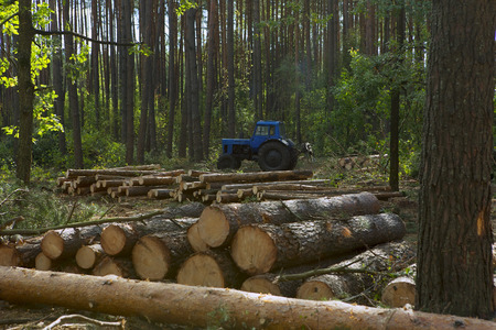 forestry industry: Felling of the forest. Wooden logs of trees in the Forest after Felling. Trunks of Trees cut and stacked in the foreground