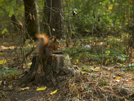 Forest animals: Squirrel and bird (Chickadee). Squirrel Eating nut on an Autumn Forest. Close-up