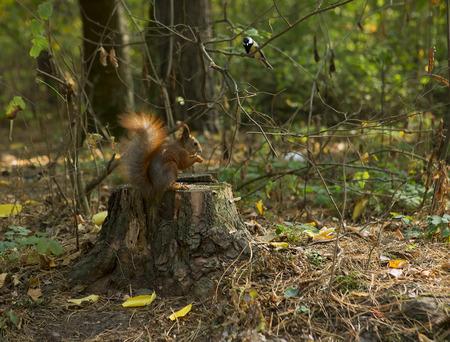 animales del bosque: Los animales del bosque: Ardilla y pájaro (Chickadee). Tuerca Ardilla que come en un bosque del otoño. Acercamiento