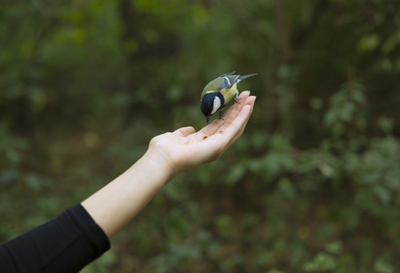 chickadee: Chickadee Eats with Palms, Bird perched on a Womans Hand and Eating bird seed on a Blurred Green Forest Background. Close-up. Walk in the Woods