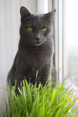 gray cat: A Healthy Diet for Pets. Cute gray Cat with Wheat Green Seeds, Germination of Wheat at Home (on the balcony), Growing.