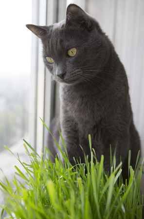 A Healthy Diet for Pets. Cute gray Cat with Wheat Green Seeds, Germination of Wheat at Home (on the balcony), Growing. Green Grass for Cats Фото со стока