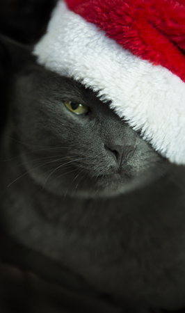 cat: Christmas Cat - Gray Cat Santa, Christmas Pet with Santa Claus Hat. Funny Gray Cat Santa - Cute Christmas Cat. Stock Photo