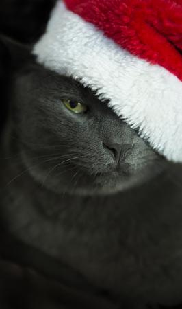 koty: Kot Świąteczny - szary kot Święty, Boże Narodzenie Zwierzęta z Santa Claus kapelusz. Śmieszne szary kot Santa - Cute Christmas Cat.