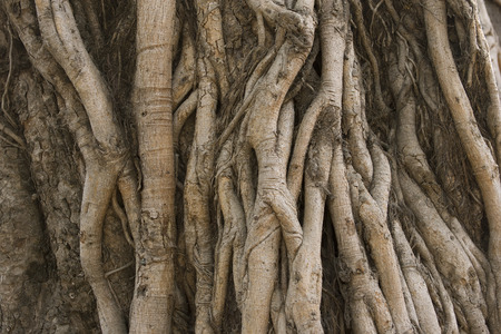 Background image of tangled vines on a tropical banyan tree (ficus benghalensis) Stock Photo