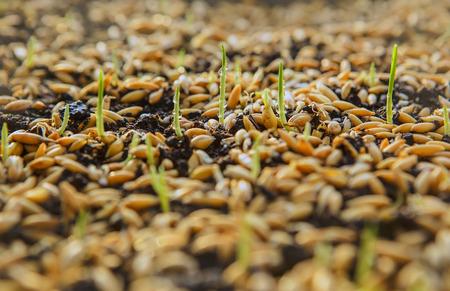 cultivo de trigo: Siembra de trigo de. Semillas de trigo verde, una dieta de alimentos crudos. Concepto sano comida vegetariana: La germinación de trigo en el país, del crecimiento y la Agricultura. aterrizaje de primavera. Rociar el agua fertilizante del suelo Foto de archivo