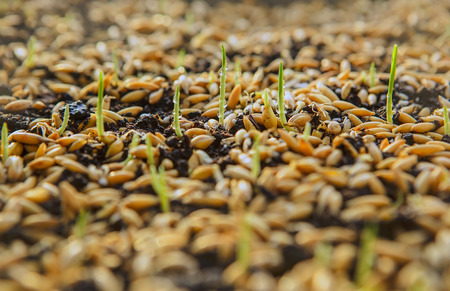 sprouts: Sowing Wheat Crop. Wheat Green Seeds, a Raw Food Diet. Healthy Vegetarian Food concept: Germination of Wheat at home, Growing and Agriculture. Spring landing. Spraying the ground fertilizer water