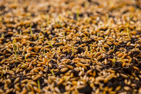 cultivo de trigo: Siembra de trigo de. Semillas de trigo verde, una dieta de alimentos crudos. Concepto sano comida vegetariana: La germinación de trigo en el país, del crecimiento y la Agricultura. aterrizaje de primavera.