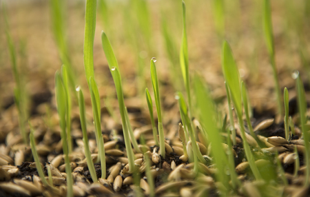 seedling: Sowing Wheat Crop. Wheat Green Seeds, a Raw Food Diet. Healthy Vegetarian Food concept: Germination of Wheat at home, Growing and Agriculture. Spring landing.