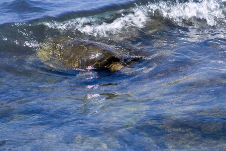 A sea turtle coming to shore.