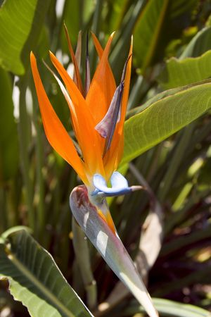 A bird of paradise flower.