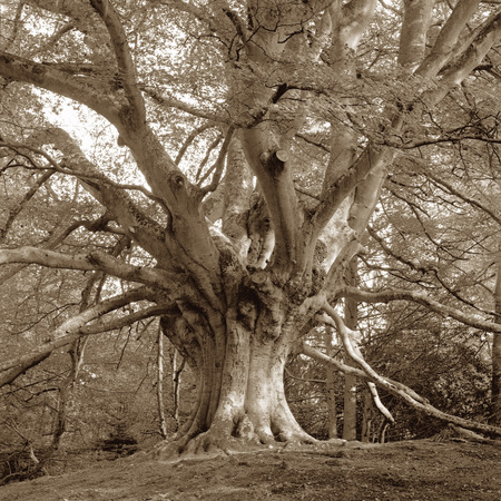 fagaceae: European Beech Tree with sepia tone (scan of 6X6 black and white negative with film grain)