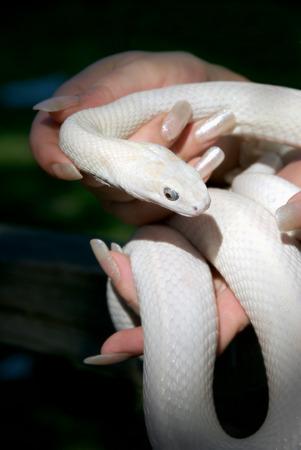 Graceful feminine fingers with long white nails holding beautiful white snake  photo