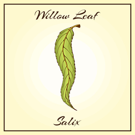 colored willow leaf. Vector vintage colored engraved illustration of willow leaf. Green leaf on begie background. Vector willow autumn drawing leaf. Isolated object. Hand drawn detailed botanical illustration in retro style. Closeup