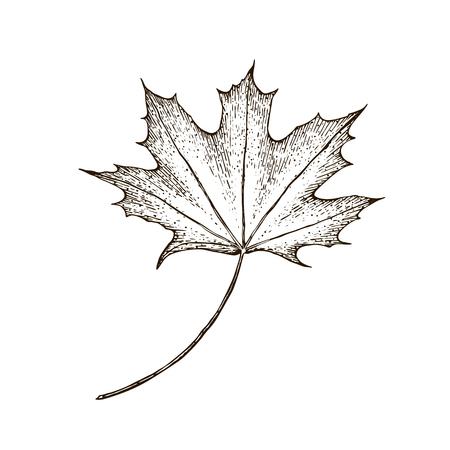 Maple leaf. vintage engraved illustration. Isolated on white background maple autumn drawing leaf. Hand drawn detailed botanical illustration