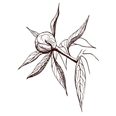 Vector ink peony bud. Engraved peony flower in vintage style. Floral branch line sketch.Highly detailed hand drawn peony. monochrome contour of bud, stem, leaves of peony flower.Botanical illustration