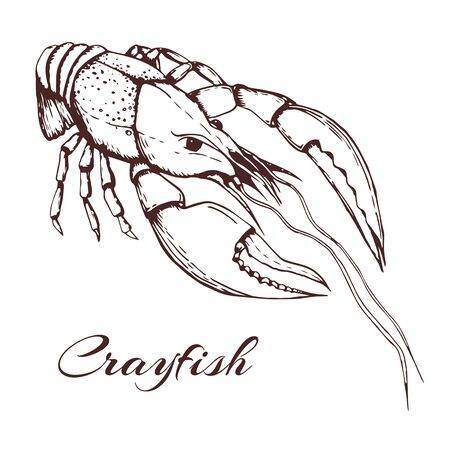 Hand drawn vintage illustration of crayfish on white background. engraved crawfish graphic. ink sketch of seafood. Outline crayfish. black and white vintage illustration of lobster.