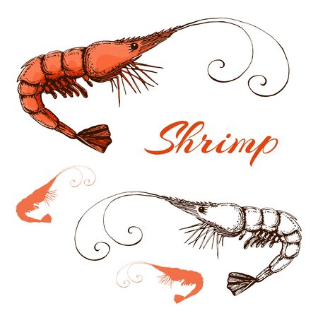 Hand drawn engraved ink shrimp or prawn illustration isolated on white. Outline and colored sketch of realistic shrimp. vector prawn line and color drawing in vintage style.Seafood elements collection Illustration
