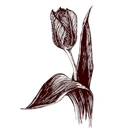 Hand drawn vintage illustration of Tulip flower on white background. engraved Tulip flower graphic. ink sketch of tulip. flower artwork. black and white vintage illustration of tulip.