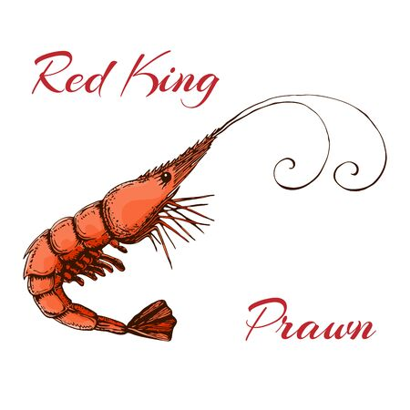 Hand drawn engraved ink shrimp or prawn illustration isolated on white. colored sketch of realistic shrimp. red king prawn drawing in vintage style. Stock fotó