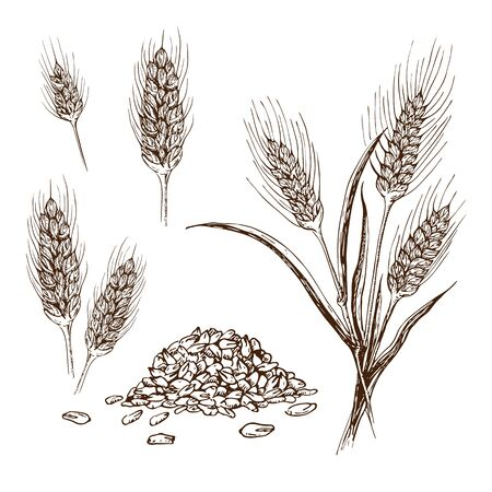 Vector hand drawn wheat or barley isolated on white background. Wheat collection in engraved vintage style. various wheat ears, heap of grains, malt or barley spikelets realistic sketch illustration.