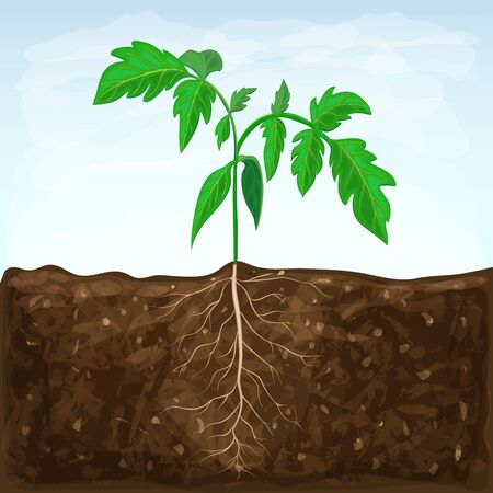 young seedling of vegetable grows in fertile soil. sprout with underground root system in ground on blue sky background. green shoot vector illustration. spring sprout of healthy tomato plant. Vektorgrafik