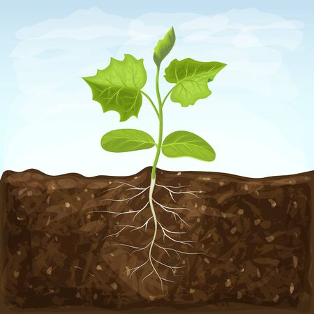 young seedling of vegetable grows in fertile soil. sprout with underground root system in ground on blue sky background. green shoot vector illustration. spring sprout of healthy cucumber plant Vektoros illusztráció