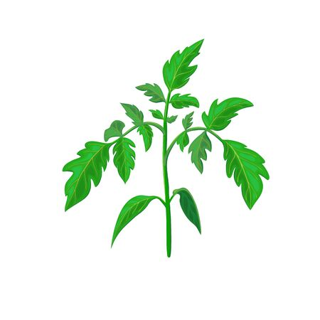 healthy tomato plant branch or green leavf isolated on white. realistic vector illustration. vegetable plant icon for gardening or farming design. green shoot or spring sprout of young tomato plant