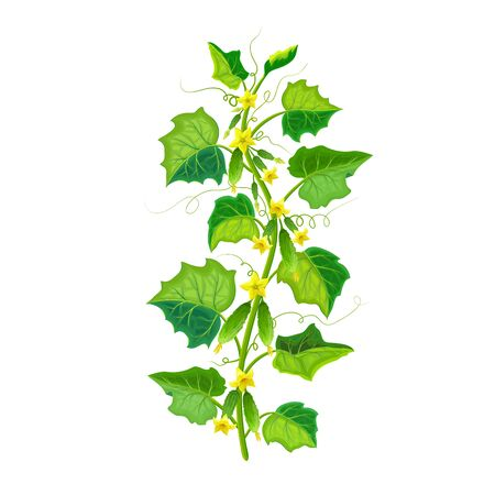 vector cucumber plant illustration isolated on white. healthy flowering cucumber bush with green gherkin and ripening fruits on branches. realistic vegetable plant icon for gardening or farming design