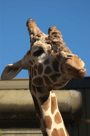 arrogancia: Cabeza de jirafa con expresión semejante a la arrogancia Foto de archivo