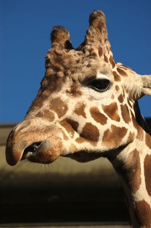 saliva: Head of chewing giraffe with saliva in the mouth