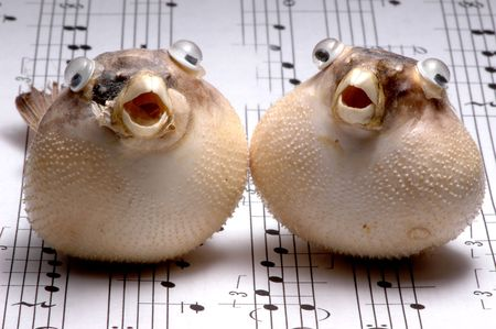 chorale: Two stuffed porcupinefish (blowfish, diodontidae) with open mouths looking like they are singing on a sheet music