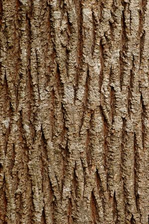 Background with patterns of an old maple bark photo