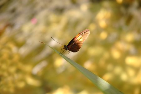 hindwing: Butterfly heliconius melpomene plesseni on a grass blade