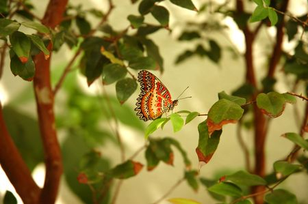 hindwing: Lacewing butterfly (cethosia biblis) on a tree