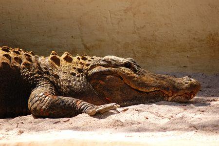 accumulating: Big alligator accumulating energy under the sun