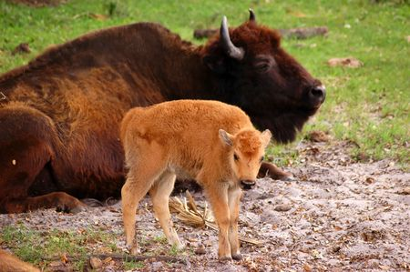 American bison (Bison bison, also known as american buffalo) calf in front of laying adult one, focus on calf Stock Photo