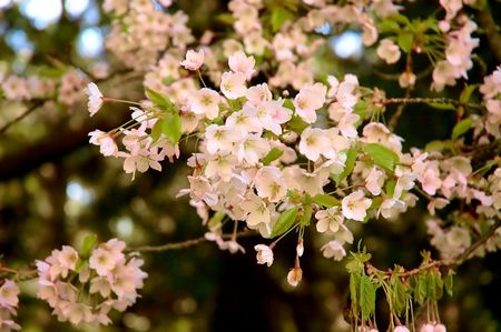 Beautiful blossom of cherry trees in the spring