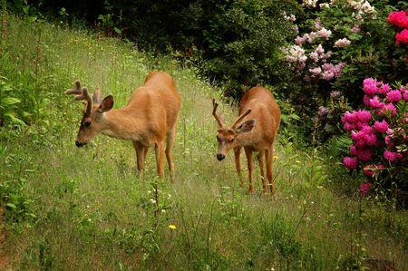 Two young male black-tailed deer (Odocoileus hemionus) on green grass