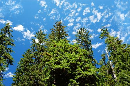 lanscape: Bright blue sky with floccus clouds and cedar trees from below Stock Photo