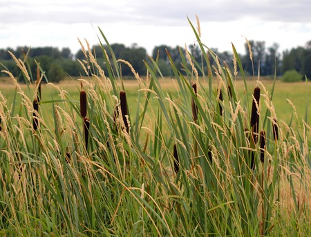 Cattails and reed canary grass at Ridgefield National Wildlife Refuge