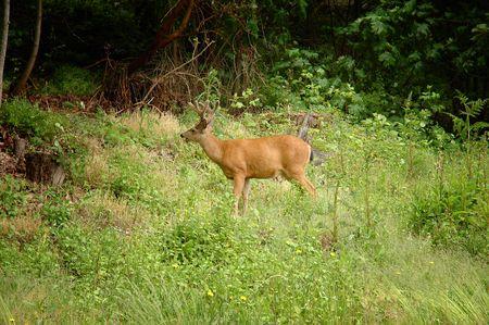 odocoileus: Young male black-tailed deer (Odocoileus hemionus) on a green grass   Stock Photo