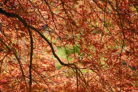 acer: Under the crown of Japanese maple (Acer palmatum)